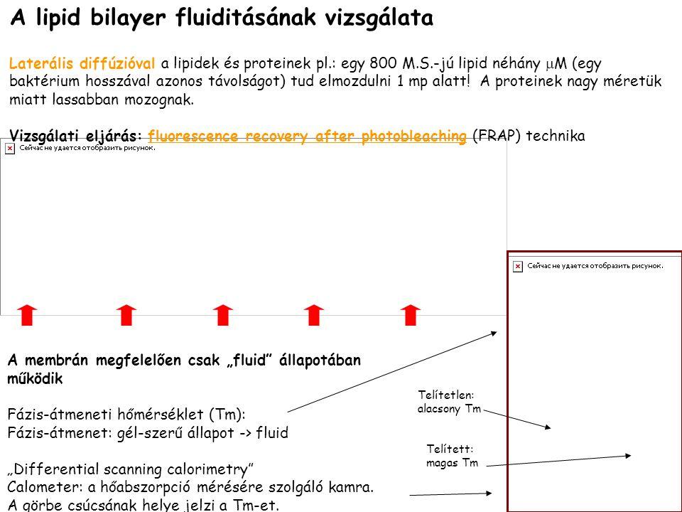 A lipid bilayer fluiditásának vizsgálata Laterális diffúzióval a lipidek és proteinek pl.: egy 800 M.S.-jú lipid néhány  M (egy baktérium hosszával a