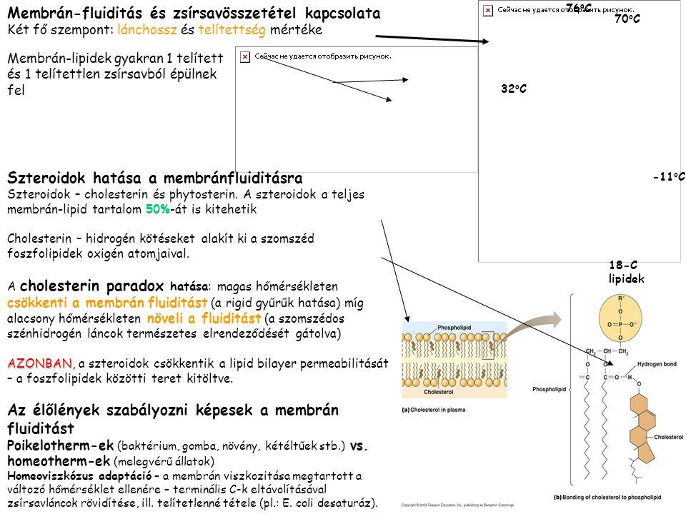 Membrán-fluiditás és zsírsavösszetétel kapcsolata Két fő szempont: lánchossz és telítettség mértéke Membrán-lipidek gyakran 1 telített és 1 telítettle