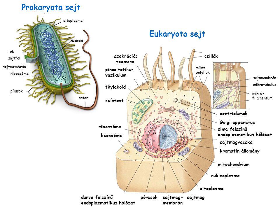 szekréciós szemcse színtest riboszóma lizoszóma pinocitotikus vezikulum csillók mikro- bolyhok centriolumok Golgi apparátus sima felszínű endoplazmati