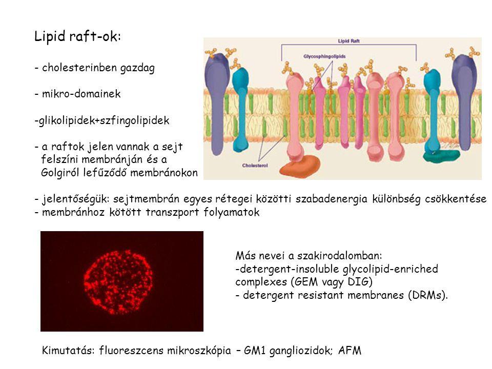 Lipid raft-ok: - cholesterinben gazdag - mikro-domainek -glikolipidek+szfingolipidek - a raftok jelen vannak a sejt felszíni membránján és a Golgiról