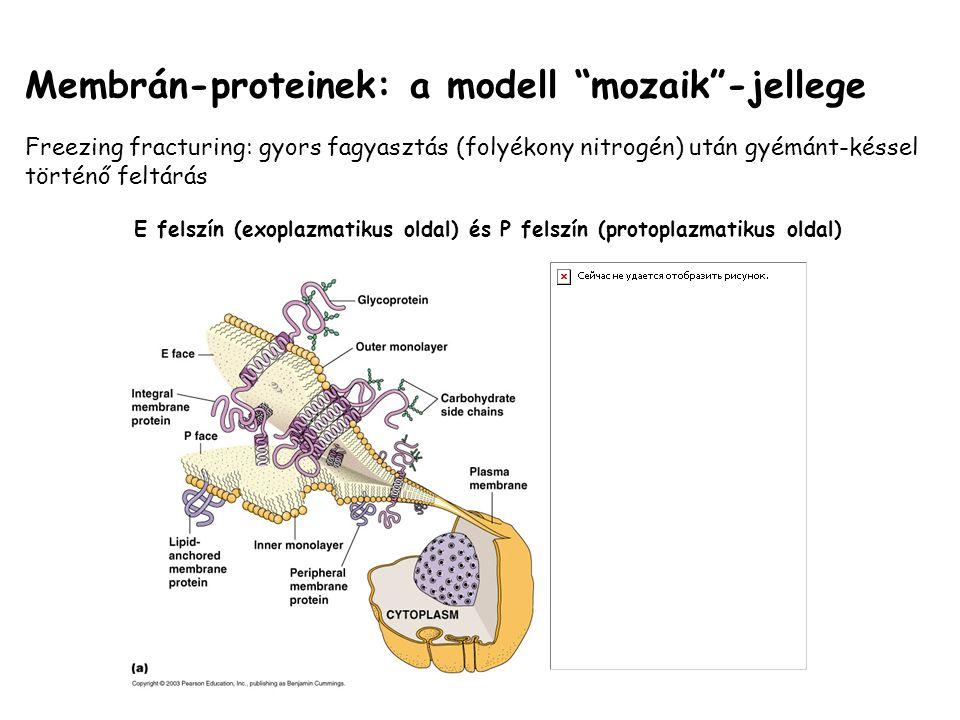"""Membrán-proteinek: a modell """"mozaik""""-jellege Freezing fracturing: gyors fagyasztás (folyékony nitrogén) után gyémánt-késsel történő feltárás E felszín"""