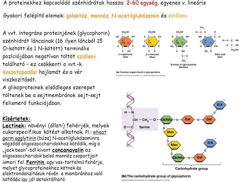 2-60 egység A proteinekhez kapcsolódó szénhidrátok hossza: 2-60 egység, egyenes v. lineáris galaktóz, mannóz, N-acetilglukózamin Gyakori felépítő elem