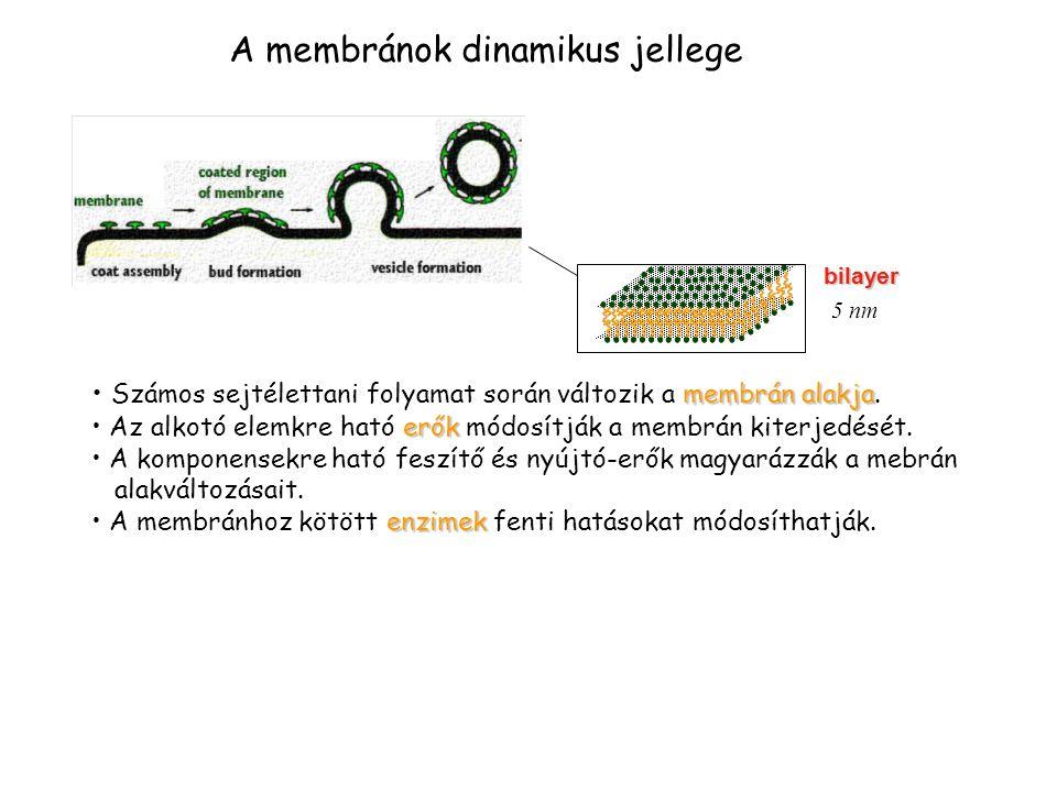 bilayer 5 nm A membránok dinamikus jellege membrán alakja • Számos sejtélettani folyamat során változik a membrán alakja. erők • Az alkotó elemkre hat
