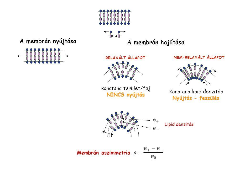 A membrán nyújtása A membrán hajlítása konstans terület/fej NINCS nyújtás RELAXÁLT ÁLLAPOT Konstans lipid denzitás Nyújtás - feszülés NEM-RELAXÁLT ÁLL