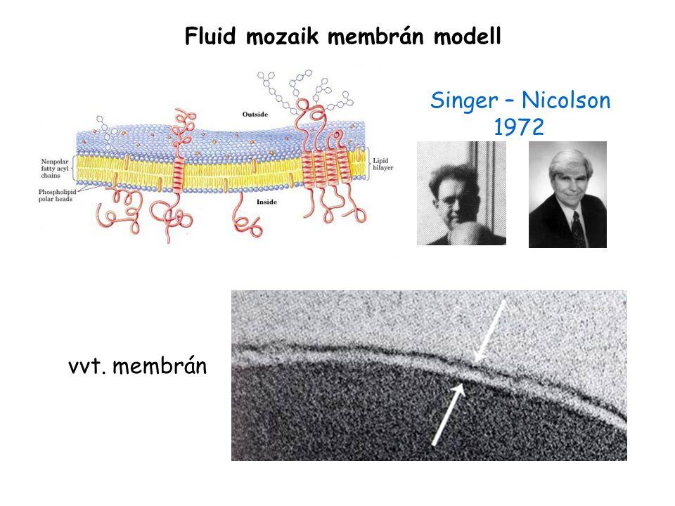 Fluid mozaik membrán modell Singer – Nicolson 1972 vvt. membrán