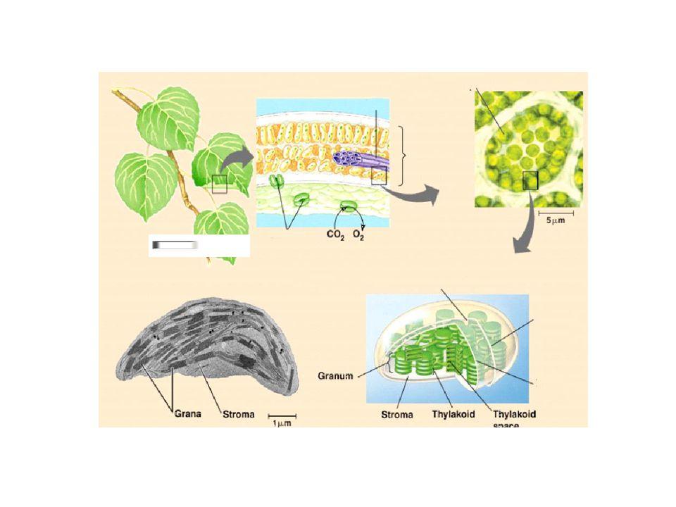 FOTOSZINTETIKUS PIGMENTEK •a tilakoid-membránok lipid-fázisának kb.
