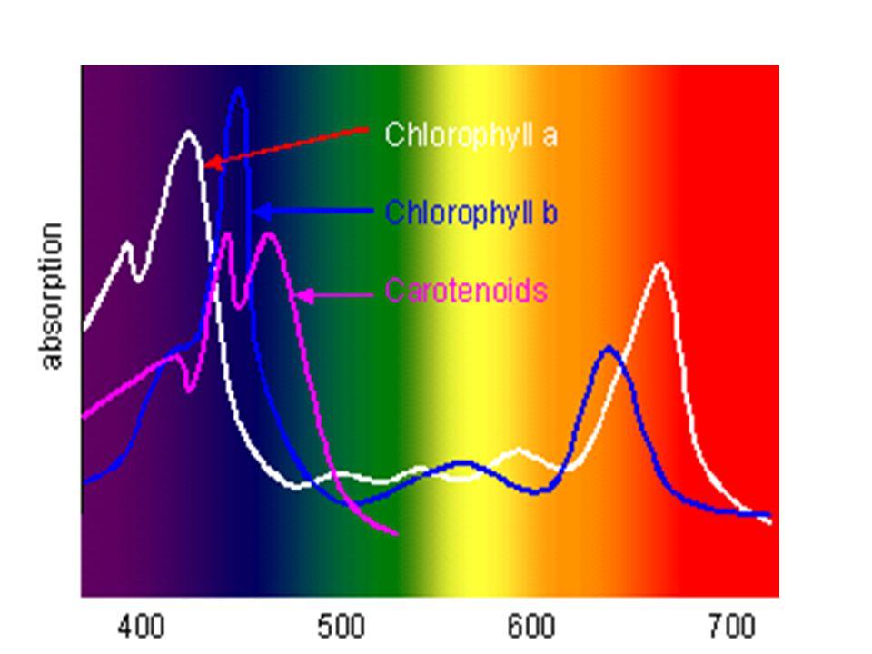 C3-as és C4-es növények fény- fotoszintézis görbéi