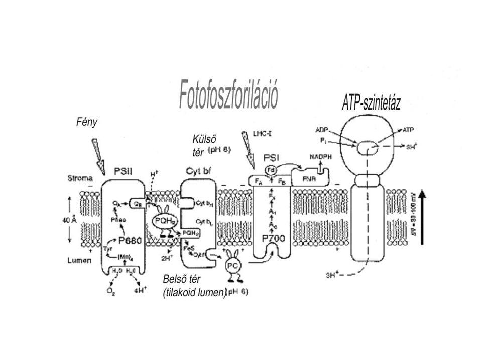Légzés, respiráció mitokondriális légzés →oxidatív foszforiláció ~ a glükóz elégetése révén nyer ATP-t a fenntartási, a növekedési légzéshez, továbbá az ionfelvételhez (aktív) →floem transzport, tápanyagok aktív transzporttal való felvétele fenntartási: - iongrádiensek, lipid- és fehérje-turnoverek (kicserélődés) energiaigénye növekedési: - az egyes vegyületek előállításához szükséges energia ionfelvétel: - grádienssel szemben működő ionpumpák energiaigénye