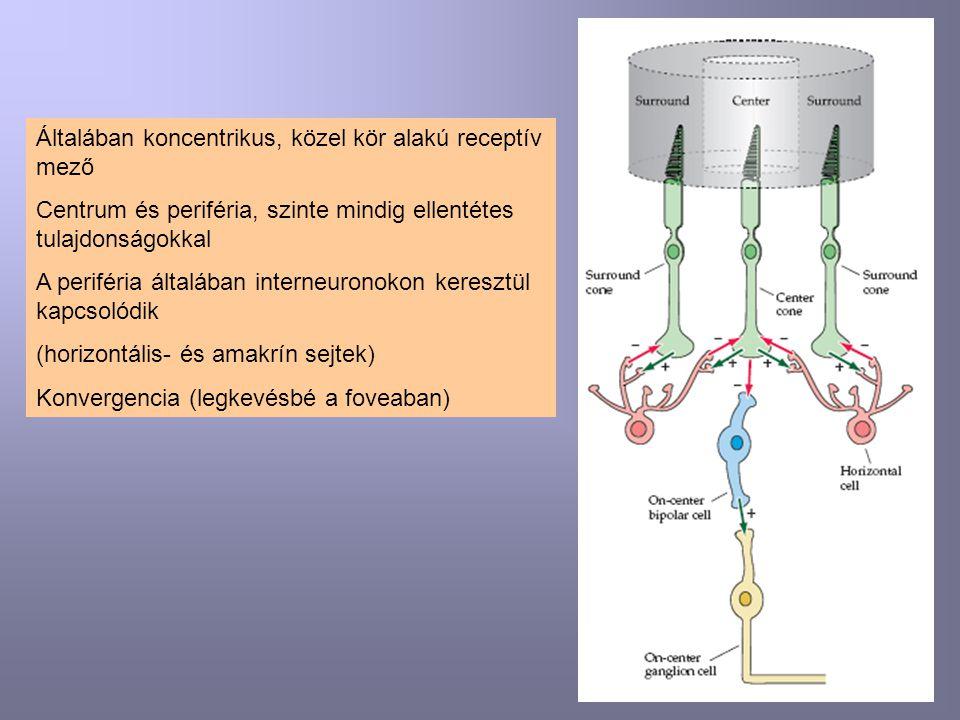Általában koncentrikus, közel kör alakú receptív mező Centrum és periféria, szinte mindig ellentétes tulajdonságokkal A periféria általában interneuronokon keresztül kapcsolódik (horizontális- és amakrín sejtek) Konvergencia (legkevésbé a foveaban)