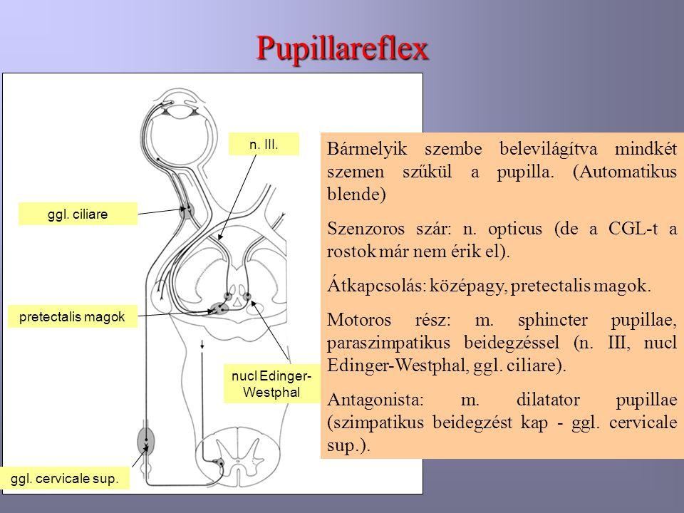 Pupillareflex Bármelyik szembe belevilágítva mindkét szemen szűkül a pupilla. (Automatikus blende) Szenzoros szár: n. opticus (de a CGL-t a rostok már