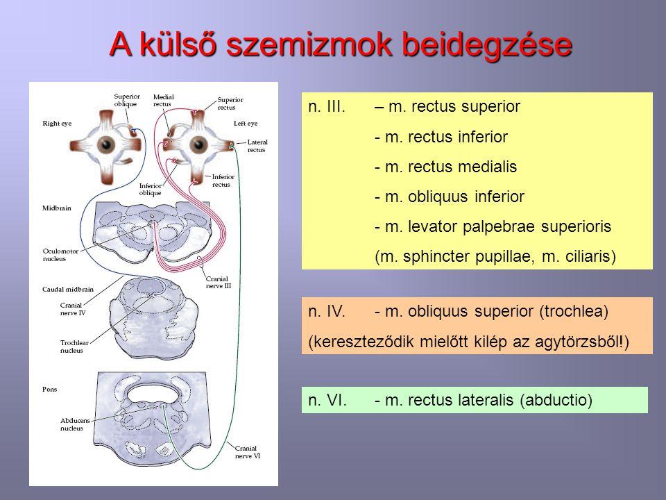 A külső szemizmok beidegzése n. III. – m. rectus superior - m. rectus inferior - m. rectus medialis - m. obliquus inferior - m. levator palpebrae supe