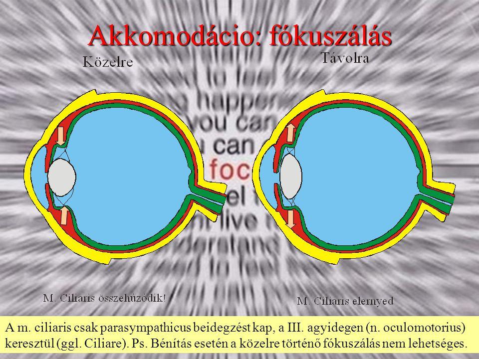 Akkomodácio: fókuszálás A m. ciliaris csak parasympathicus beidegzést kap, a III. agyidegen (n. oculomotorius) keresztül (ggl. Ciliare). Ps. Bénítás e
