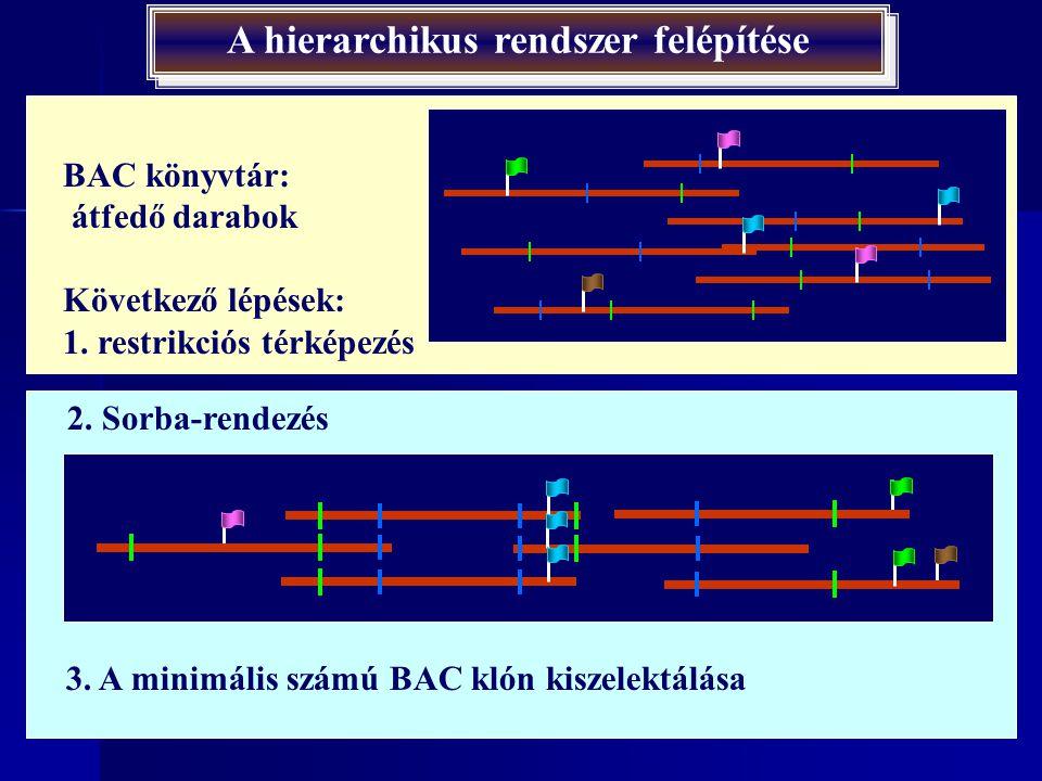 A hierarchikus rendszer felépítése 150000 bp darabok Izolált kromoszómák feldarabolása ritkán vágó restrikciós endonukleázokkal A keletkezett darabok klónozása  BAC (Bacterial Arteficial Chromosome) könyvtár létrehozása