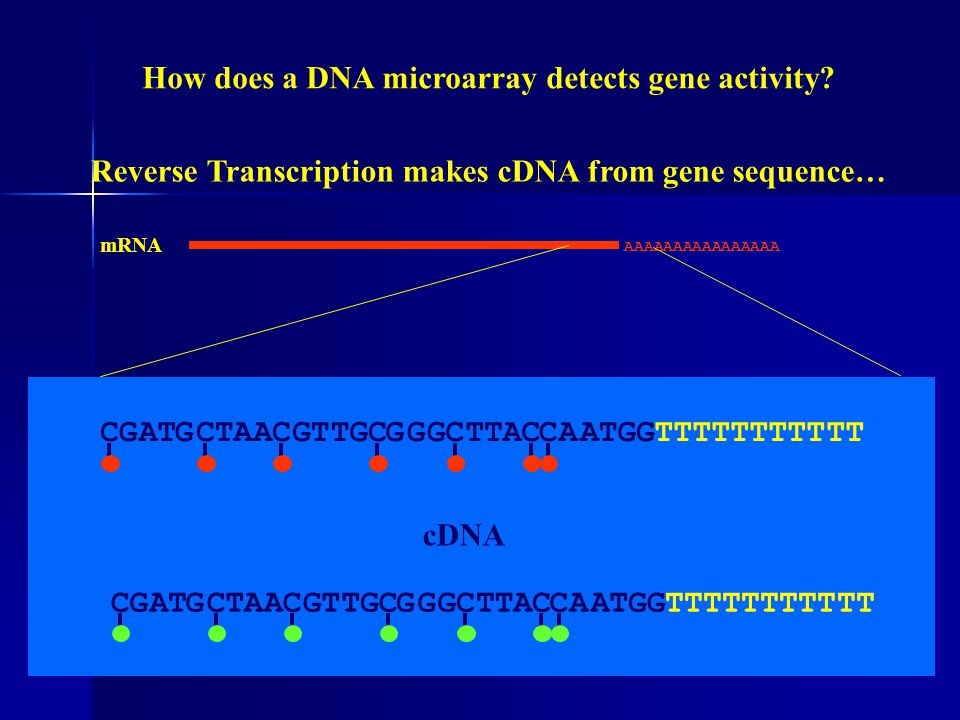 """PROBE"" is DNA spotted (attached) to the solid substrate (non-fluorescent glass slide). ""TARGET"" is the fluorescence labeled cDNA representation of th"