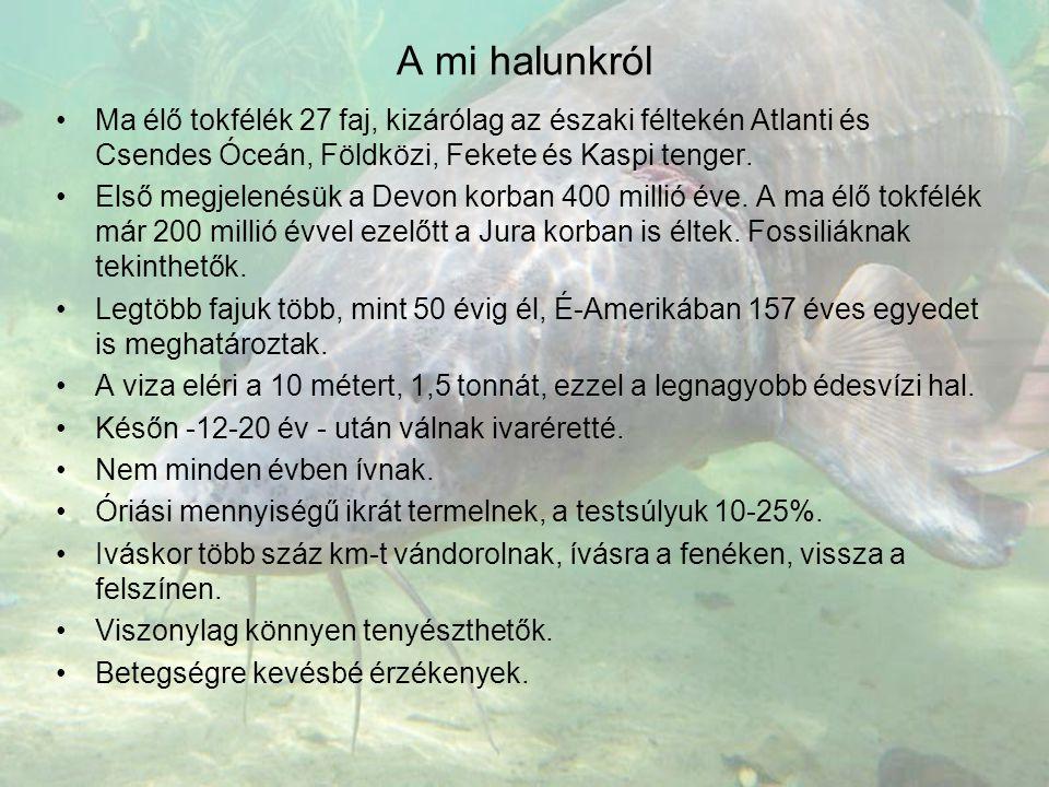 A mi halunkról •Ma élő tokfélék 27 faj, kizárólag az északi féltekén Atlanti és Csendes Óceán, Földközi, Fekete és Kaspi tenger. •Első megjelenésük a