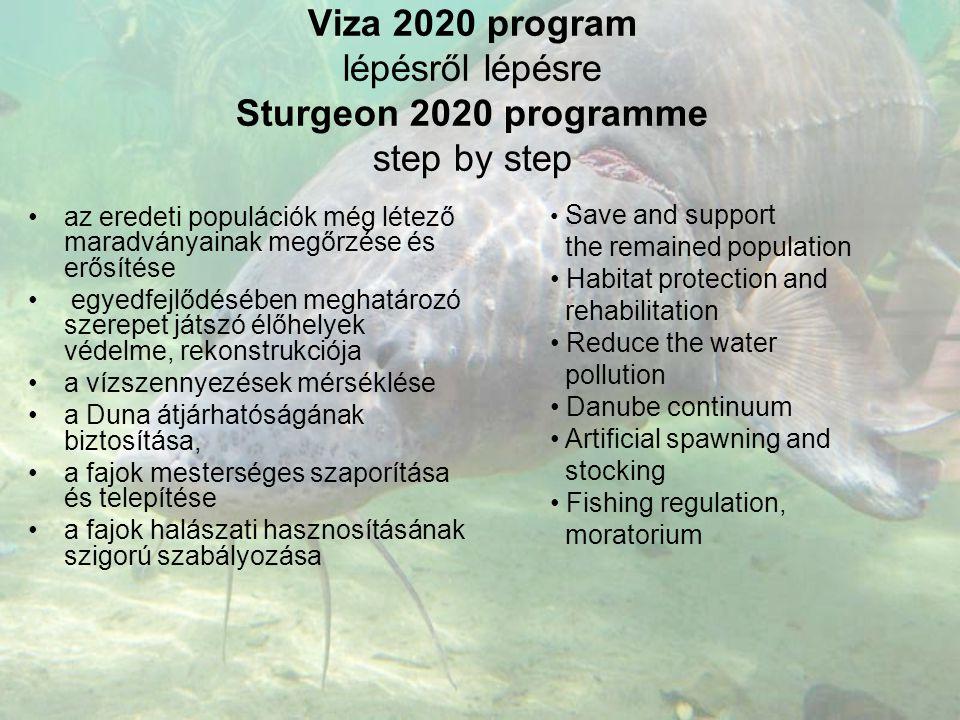 Viza 2020 program lépésről lépésre Sturgeon 2020 programme step by step •az eredeti populációk még létező maradványainak megőrzése és erősítése • egye