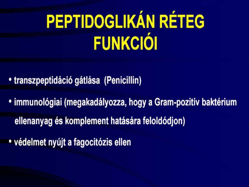 GRAM NEGATÍV BAKTÉRIUMOK A Gram-negatív baktériumok külső hártyája lipopoliszacharidban gazdag.