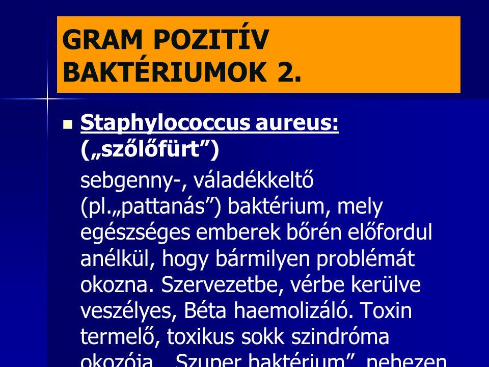 """GRAM POZITÍV BAKTÉRIUMOK 2.   Staphylococcus aureus: (""""szőlőfürt"""") sebgenny-, váladékkeltő (pl.""""pattanás"""") baktérium, mely egészséges emberek bőrén"""