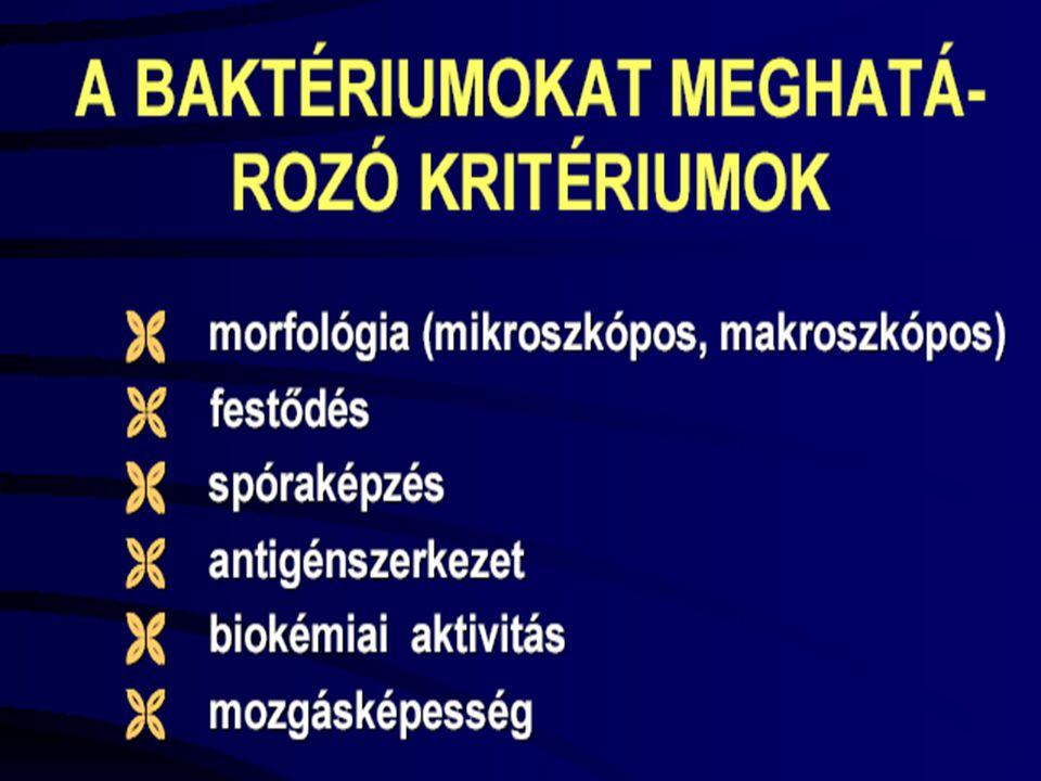 BAKTERIUMOK ALAKJA Alakjuk:   gömb  coccusok (görögül bogyó) micrococcusok, streptococcusok, staphylococcusok, ez utóbbiak gennykeltők.