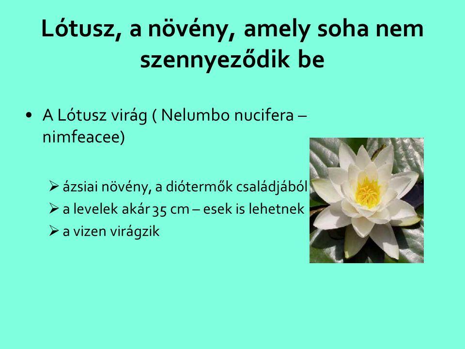 Lótusz, a növény, amely soha nem szennyeződik be •A Lótusz virág ( Nelumbo nucifera – nimfeacee)  ázsiai növény, a diótermők családjából  a levelek