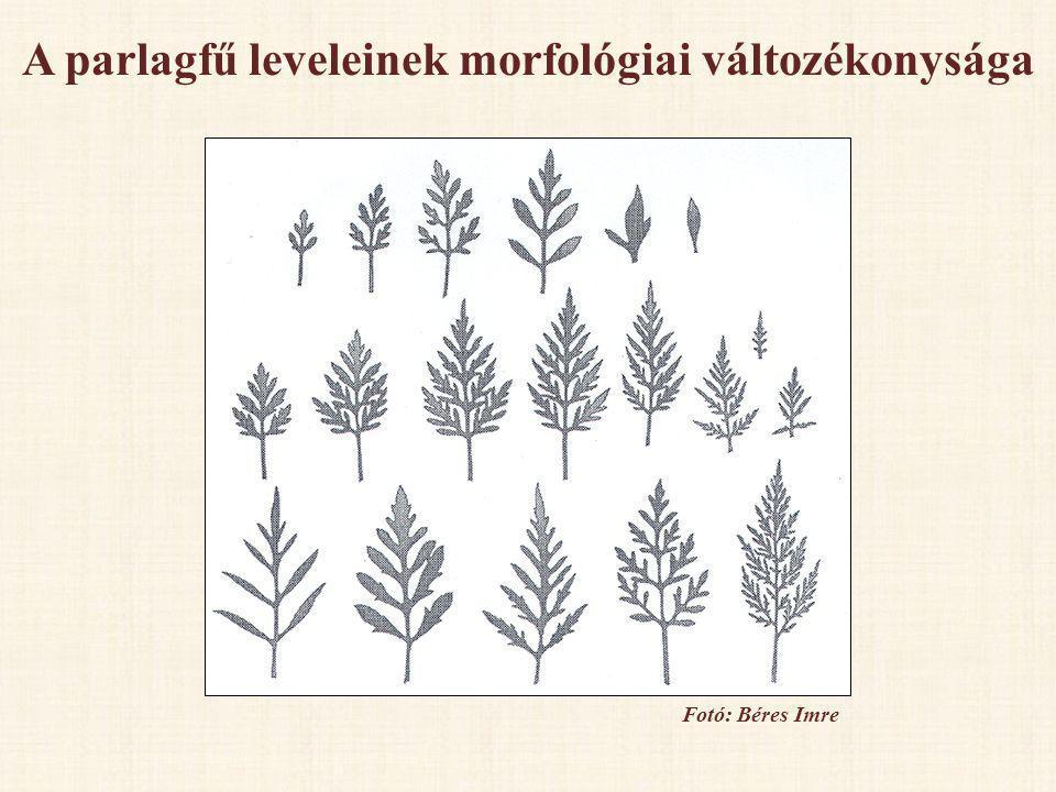 A parlagfű leveleinek morfológiai változékonysága Fotó: Béres Imre