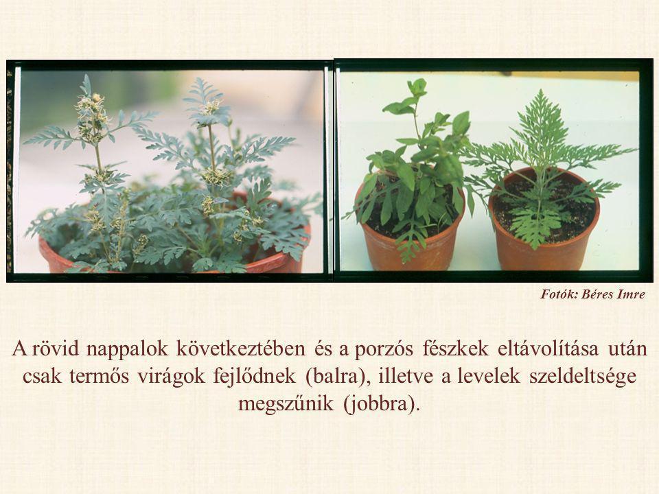 A rövid nappalok következtében és a porzós fészkek eltávolítása után csak termős virágok fejlődnek (balra), illetve a levelek szeldeltsége megszűnik (