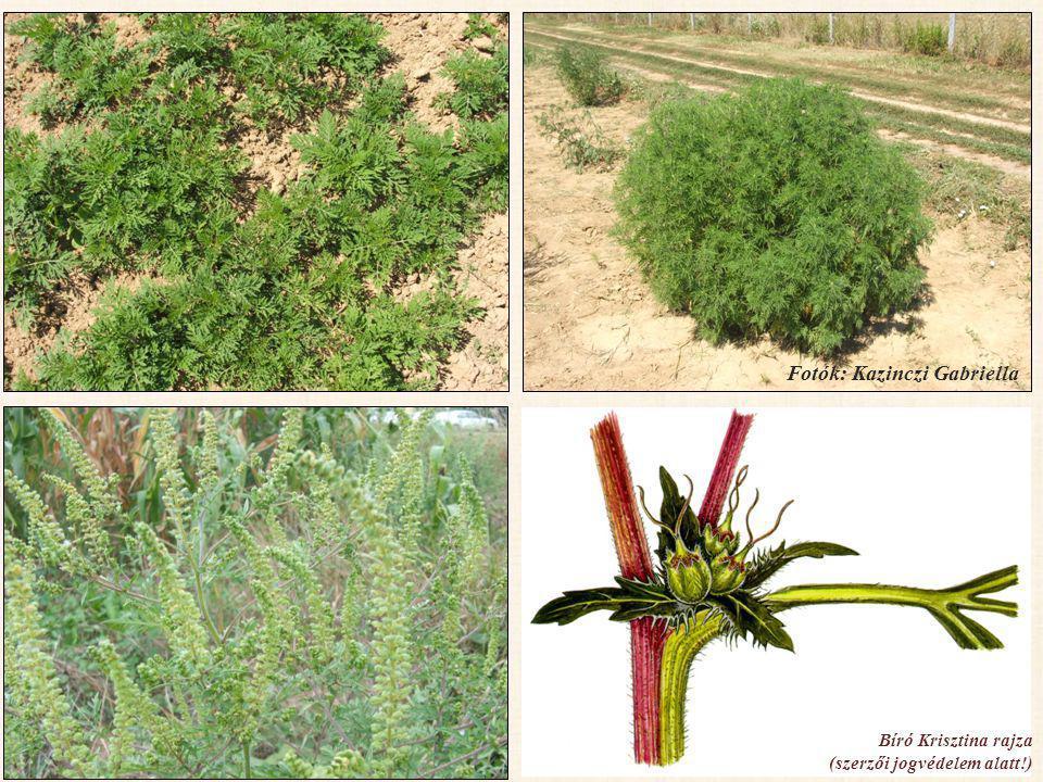 VÉDEKEZÉS (függ a fertőzés helyétől) • Kémiai (herbicidek) • Agrotechnikai (vetésforgó) • Fizikai, mechanikai (talajművelés, kaszálás) • Biológiai (nálunk kísérleti stádiumban) Technológiák integrált alkalmazása.