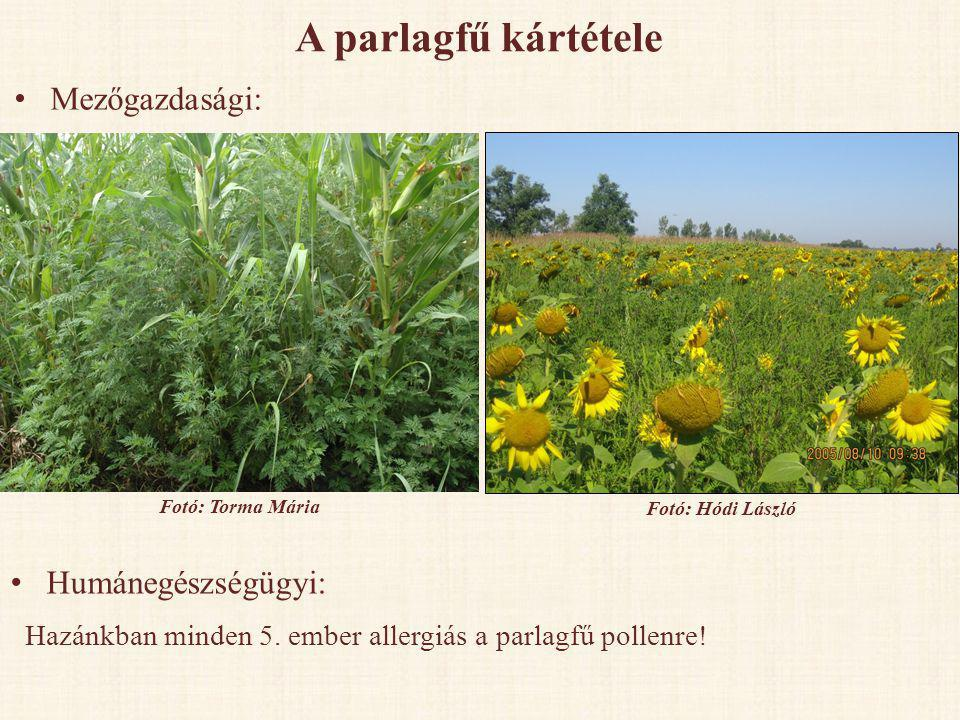 A parlagfű kártétele • Mezőgazdasági: • Humánegészségügyi: Hazánkban minden 5. ember allergiás a parlagfű pollenre! Fotó: Torma Mária Fotó: Hódi Lászl