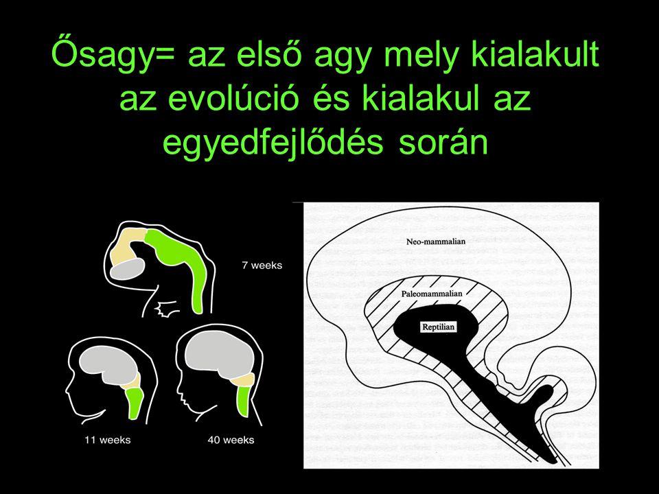 Ősagy= az első agy mely kialakult az evolúció és kialakul az egyedfejlődés során