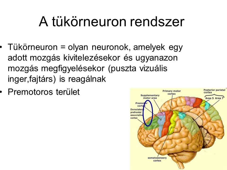 A tükörneuron rendszer •Tükörneuron = olyan neuronok, amelyek egy adott mozgás kivitelezésekor és ugyanazon mozgás megfigyelésekor (puszta vizuális inger,fajtárs) is reagálnak •Premotoros terület