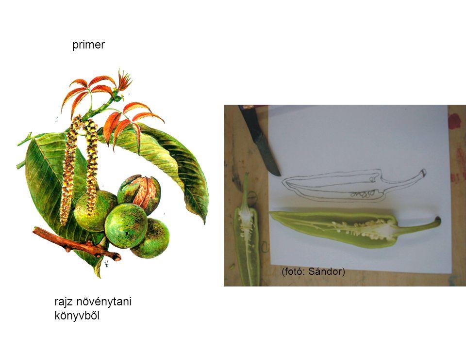 primer rajz növénytani könyvből (fotó: Sándor)