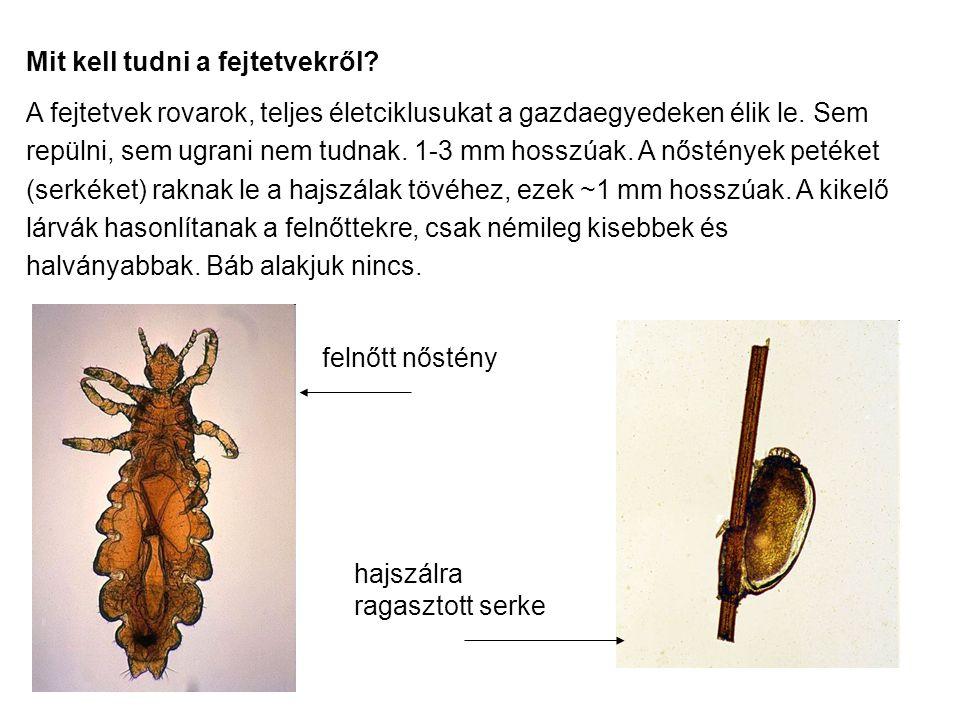 Mit kell tudni a fejtetvekről? A fejtetvek rovarok, teljes életciklusukat a gazdaegyedeken élik le. Sem repülni, sem ugrani nem tudnak. 1-3 mm hosszúa
