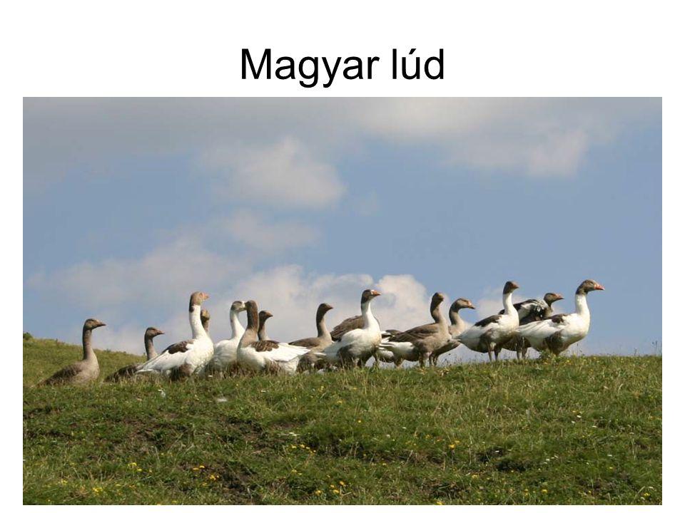 Magyar lúd