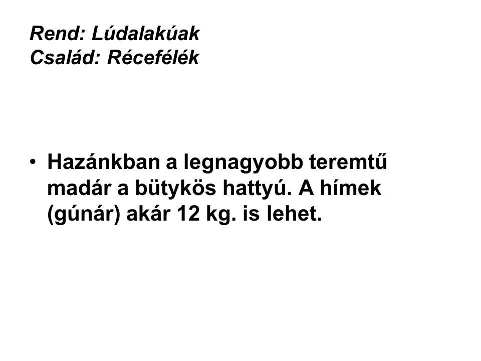 Rend: Lúdalakúak Család: Récefélék •Hazánkban a legnagyobb teremtű madár a bütykös hattyú. A hímek (gúnár) akár 12 kg. is lehet. HEFOP 3.3.1.