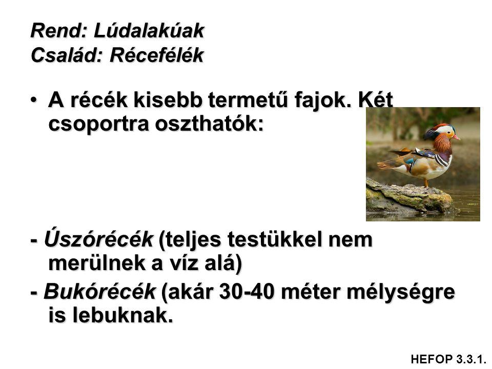 Rend: Lúdalakúak Család: Récefélék •A récék kisebb termetű fajok. Két csoportra oszthatók: - Úszórécék (teljes testükkel nem merülnek a víz alá) - Buk