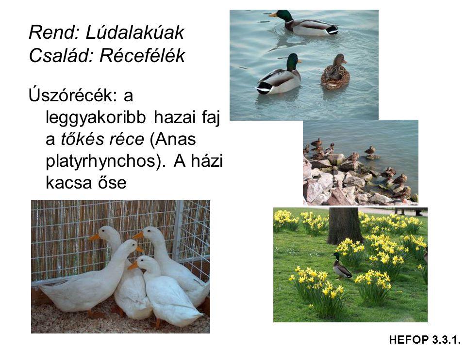 Rend: Lúdalakúak Család: Récefélék Úszórécék: a leggyakoribb hazai faj a tőkés réce (Anas platyrhynchos). A házi kacsa őse HEFOP 3.3.1.