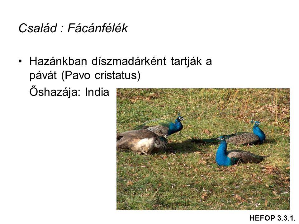 Család : Fácánfélék •Hazánkban díszmadárként tartják a pávát (Pavo cristatus) Őshazája: India HEFOP 3.3.1.