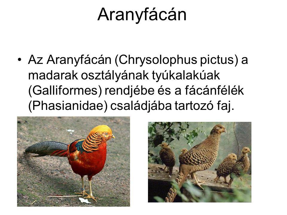 Aranyfácán •Az Aranyfácán (Chrysolophus pictus) a madarak osztályának tyúkalakúak (Galliformes) rendjébe és a fácánfélék (Phasianidae) családjába tart