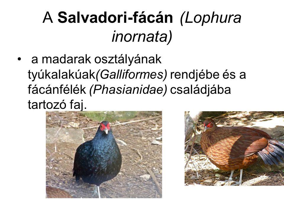 A Salvadori-fácán (Lophura inornata) • a madarak osztályának tyúkalakúak(Galliformes) rendjébe és a fácánfélék (Phasianidae) családjába tartozó faj.