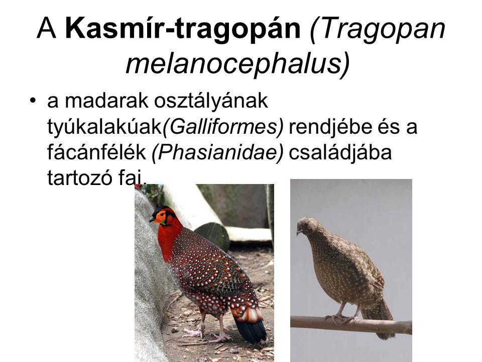 A Kasmír-tragopán (Tragopan melanocephalus) •a madarak osztályának tyúkalakúak(Galliformes) rendjébe és a fácánfélék (Phasianidae) családjába tartozó