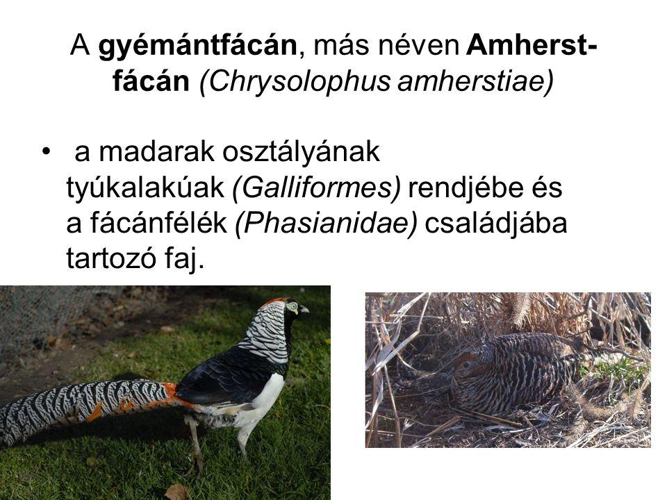 A gyémántfácán, más néven Amherst- fácán (Chrysolophus amherstiae) • a madarak osztályának tyúkalakúak (Galliformes) rendjébe és a fácánfélék (Phasian