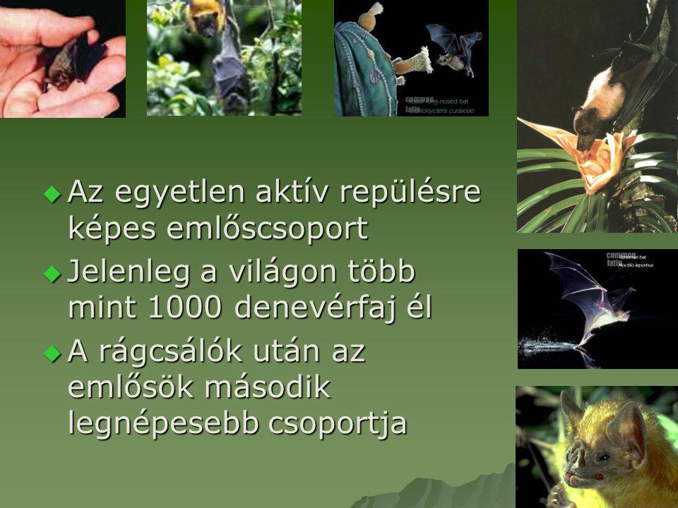  Az egyetlen aktív repülésre képes emlőscsoport  Jelenleg a világon több mint 1000 denevérfaj él  A rágcsálók után az emlősök második legnépesebb c