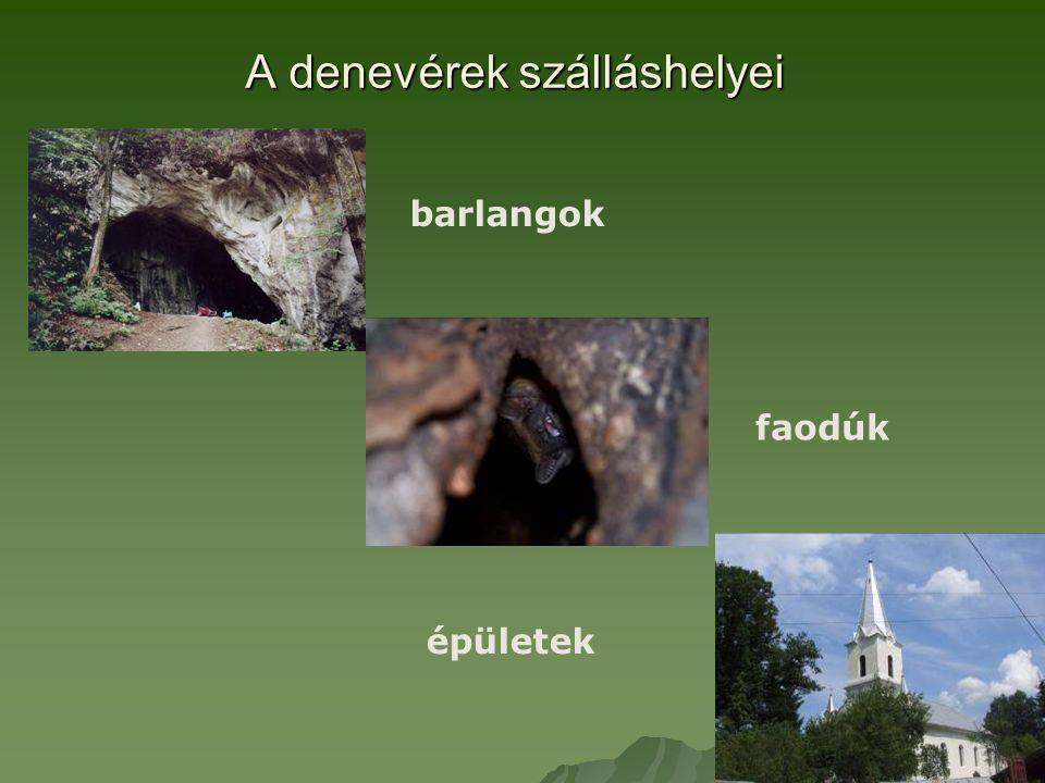 A denevérek szálláshelyei barlangok faodúk épületek