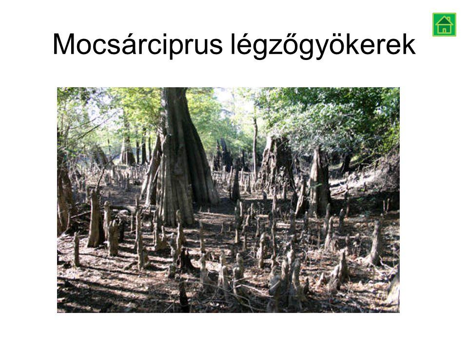 Mocsárciprus légzőgyökerek