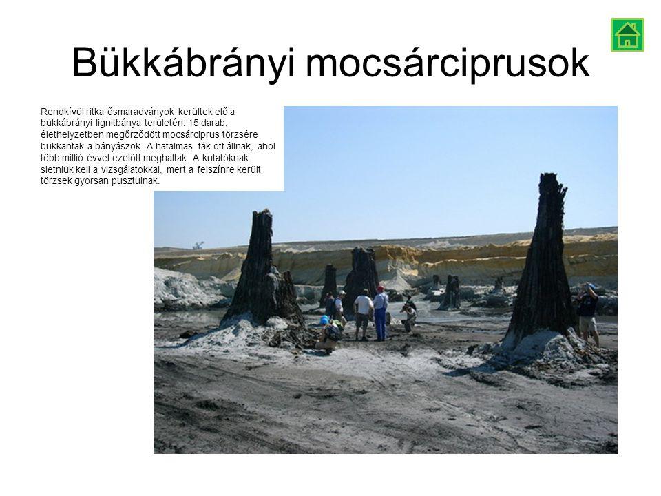 Bükkábrányi mocsárciprusok Rendkívül ritka ősmaradványok kerültek elő a bükkábrányi lignitbánya területén: 15 darab, élethelyzetben megőrződött mocsár