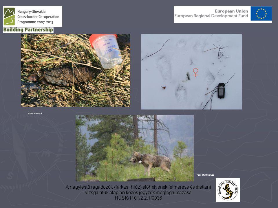 A nagytestű ragadozók (farkas, hiúz) élőhelyének felmérése és élettani vizsgálatuk alapján közös jegyzék megfogalmazása HUSK/1101/2.2.1/0036 ♀ Fotók: