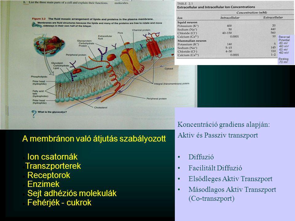 A membránon való átjutás szabályozott  Ion csatornák  Transzporterek  Receptorok  Enzimek  Sejt adhéziós molekulák  Fehérjék - cukrok Koncentrác