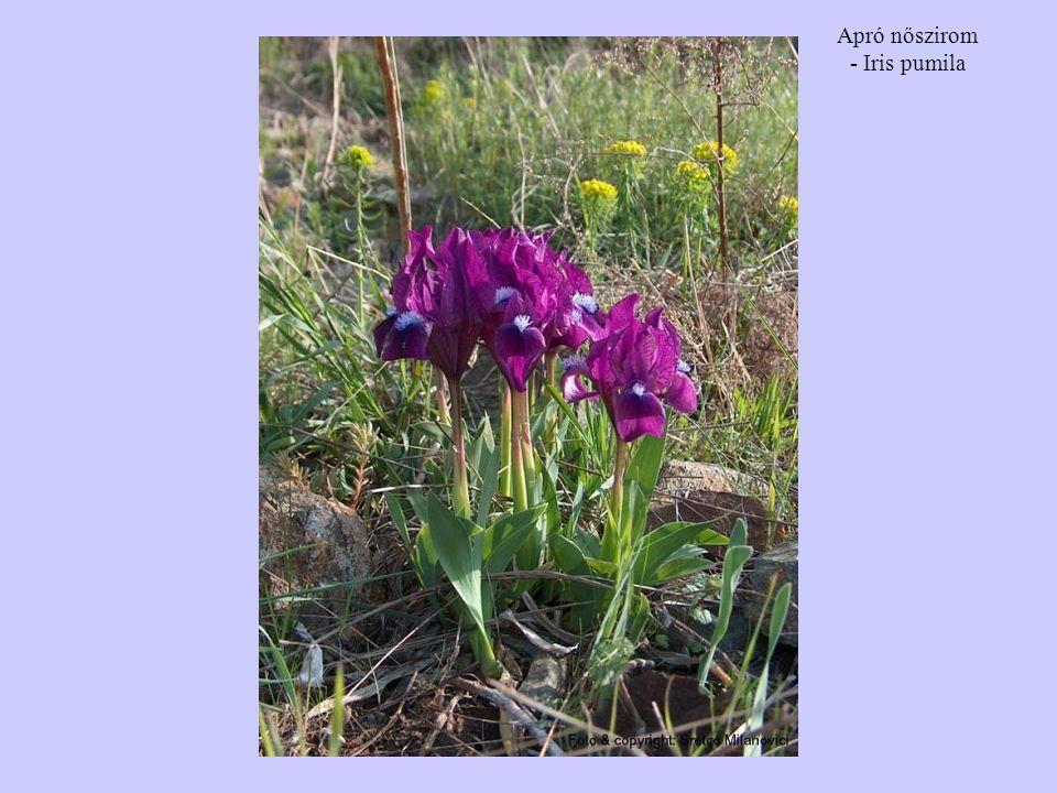 Apró nőszirom - Iris pumila