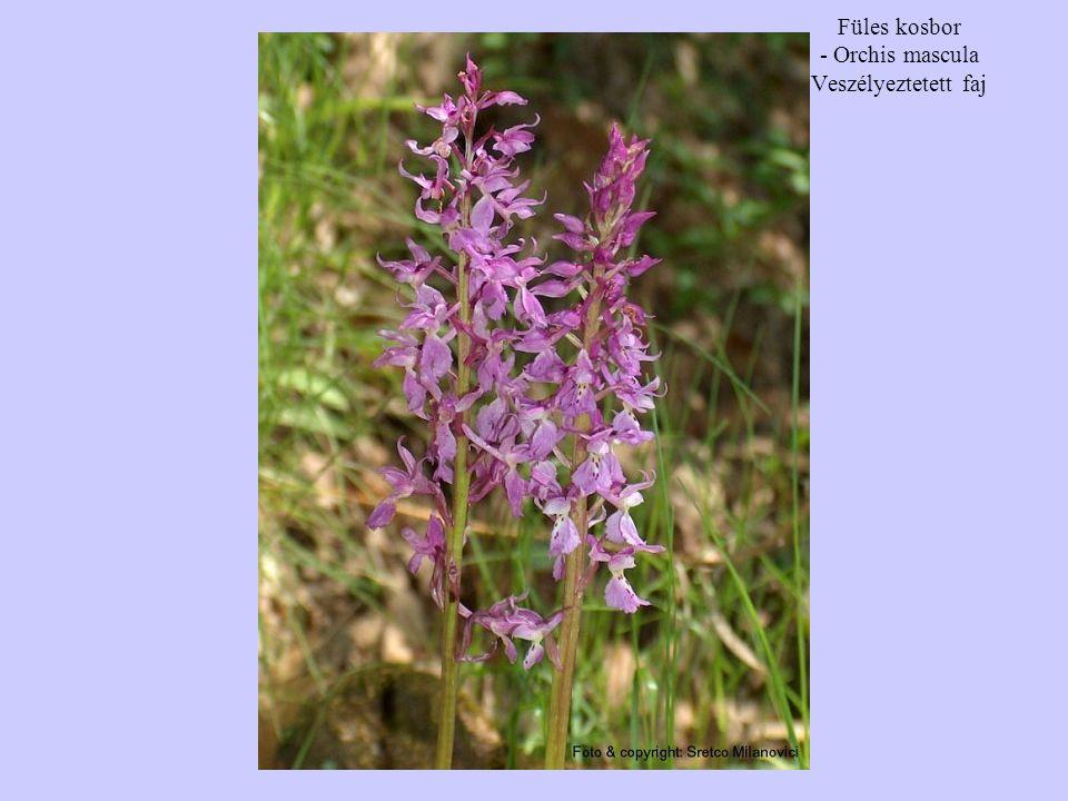 Füles kosbor - Orchis mascula Veszélyeztetett faj