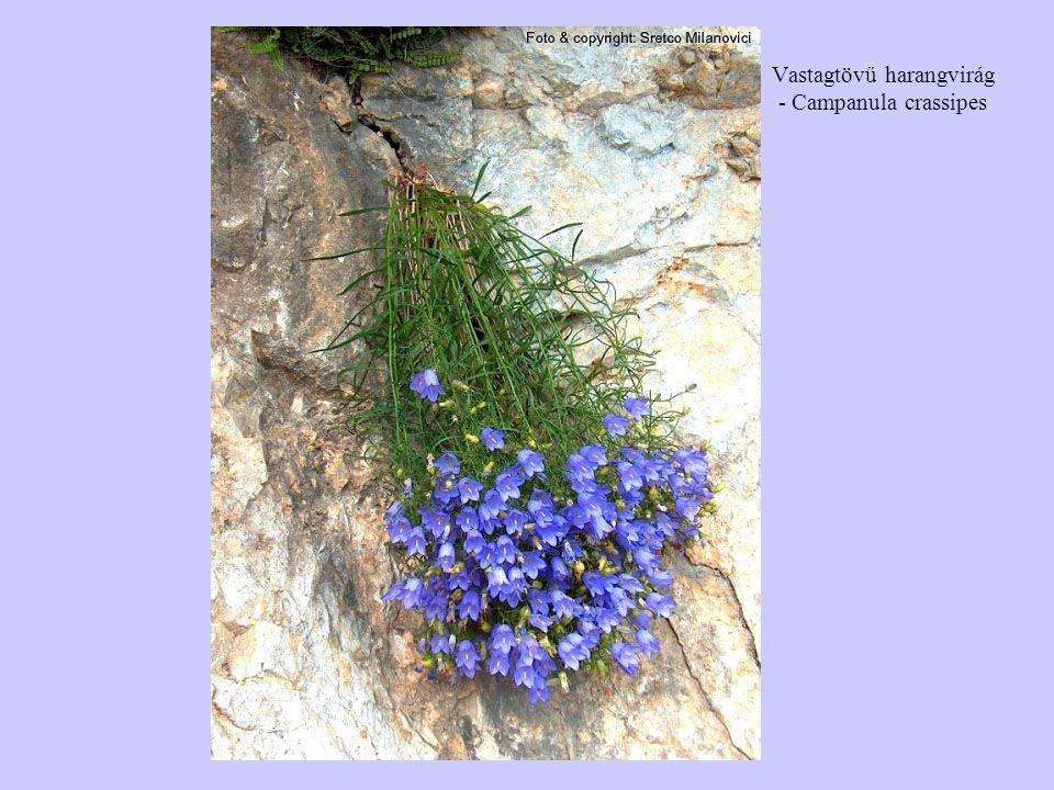 Vastagtövű harangvirág - Campanula crassipes